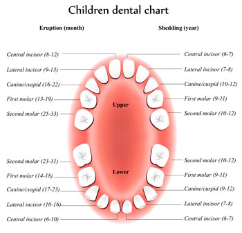 Tooth Eruption Chart - Pediatric Dentist in Marble Falls, TX